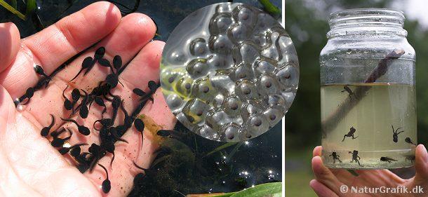 De danske padder er fredet, men æg og haletudser fra butsnudet frø må indsamles, men skal udsættes i vandhullet igen, når haletudserne er blevet til frøer.
