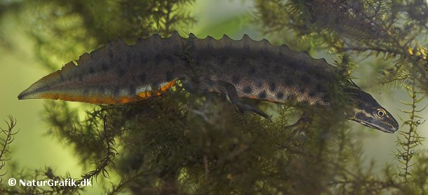 Lille vandsalamander, han i yngledragt.