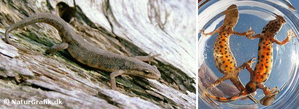Lille vandsalamander lever på land uden for yngletiden. Fotoet til højre viser en hun og han-salamander i yngledragt.