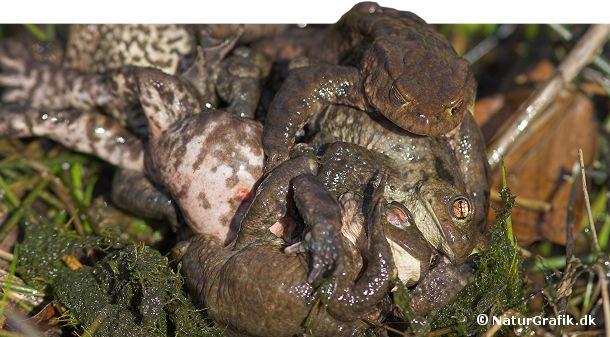 Det kan godt gå hårdt for sig under tudsernes parring. Undertiden kan en hun blive angrebet af adskillige parringslystne hanner. På åbent vand kan hun ligefrem risikere at drukne.