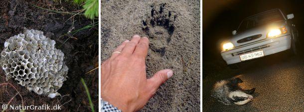 Opgravede hvepsebo (t.v.) er ofte grævlingens værk. Grævlingens poter har nogle markante kløer, hvilket ses af dens spor (midt). Til højre, en trafikdræbt grævling. Langt over 1000 grævlinge mister hvert år livet i trafikken.
