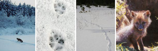 I januar begynder rævens parringstid - rolletiden, hvor han-rævene vandrer rundt og leder efter en mage. Om natten høres rævenes hæse gøen. Om foråret kommer hvalpene til verden og kan opleves ved rævegraven i maj.