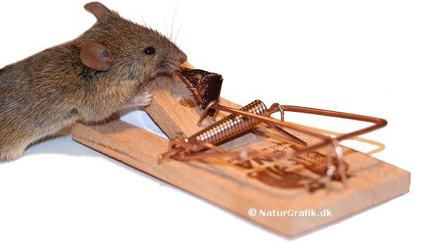 Der er de ægte mus (med store ører) der indtager vores huse i vinterhalvåret. Den traditionelle smækfælde anvendes ofte til at komme af med de uønskede beboere. Et stykke dadel, spegepølse eller lignende er ofte effektivt.