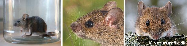 De ægte mus skiller sig tydeligt ud fra studsmusene, med deres store ører og mere spidse snude. Til venstre en husmus på rov i en glaskrukke. I midten en ung skovmus. Til højre en halsbåndsmus.