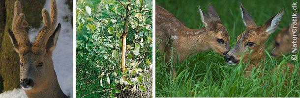 Fotoet til venstre viser en råbuk med opsatsen i bast. For at få basten af om foråret fejer bukken på træer og buske (midt). Til højre en rå med sine 2 lam.