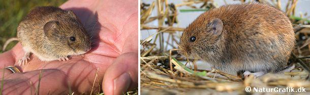 Rødmusen er også en studsmus. Den ligner markmusen, men har en varmere rød farve og lidt større ører.