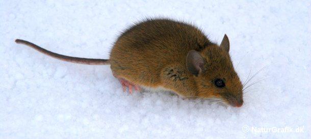 Musene kan skjule sig under sneen, hvor de, beskyttet af sneen, kan gnave bark af træer og buske.