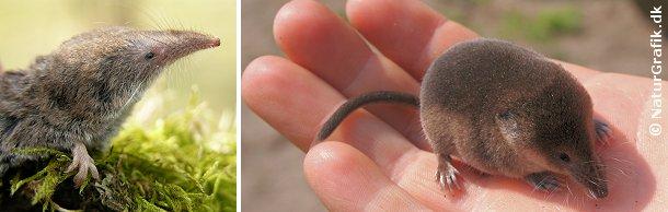 Spidsmusene er i virkeligheden ikke en mus, men hører til insektæderne ligesom pindsvinet.