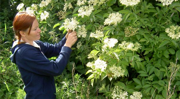 Hyld blomstrer fra sidst i maj og det meste af juni.