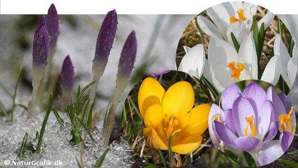 Der findes i dag mange forskellige hybrider og sorter af krokus i talrige farver.