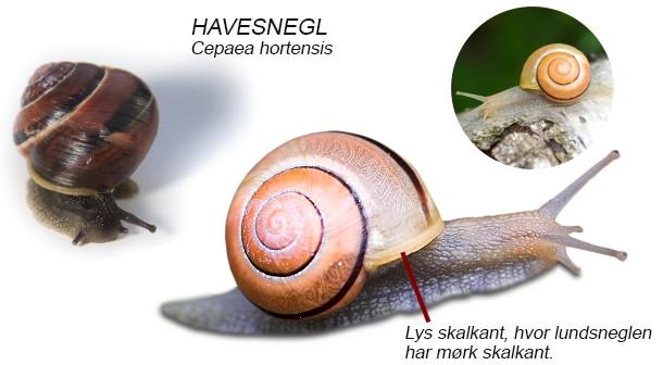 Visuel guide til snegle med hus   naturguide.dk   danmarks natur ...