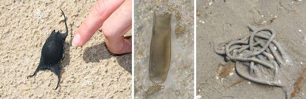 Til venstre ægkapslen fra en rokke. I midten ægkapsel fra haj, der ikke sjældent findes ved vores kyster. Til højre sandormens karakteristiske sandpølser.