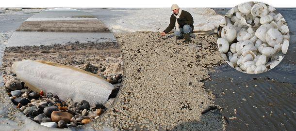 Tusindevis af søpindsvin er skyllet op på stranden. Her Nordjyllands østkyst. Til venstre kalk-skallen fra en tiarmet blæksprutte.