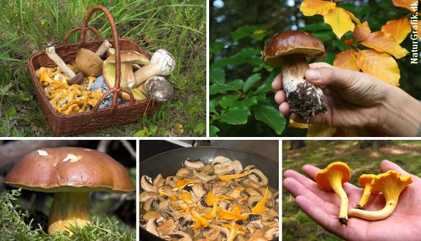Det er populært at tage i skoven og høste svampe. Her er det Karl Johan, brunstokket rørhat og kantareller.