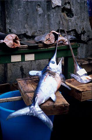 Det er blandt andet sværdfisk som denne fra Italien, som er begyndt at dukke op i de danske farvande og som fiskerne gerne vil lave kommercielt fiskeri på. Foto: Jean-Pierre Bazard CC BY-SA 3,0, Wikimedia