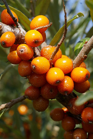 De vitaminholde Havtornebær. Foto: Hans Hillewaert CC BY-SA 3.0 Wikimedia