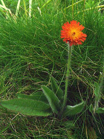Hele planten af pomeranshøgeurt med sin behårede stængel. Foto: Orchi, CC BY-SA 3.0, Wikimedia