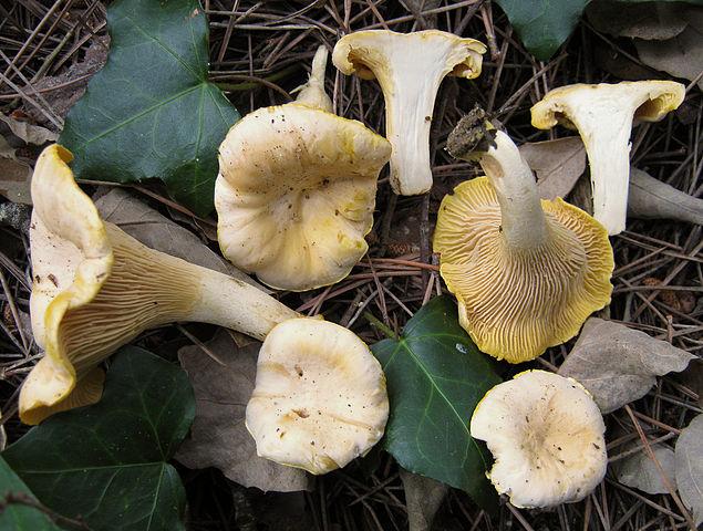 Bleg katarel der med sine kraftige frugtlegemer er en ligeså god spisesvamp som almindelig kantarel. Foto: Wikimedia CC BY-SA 3,0