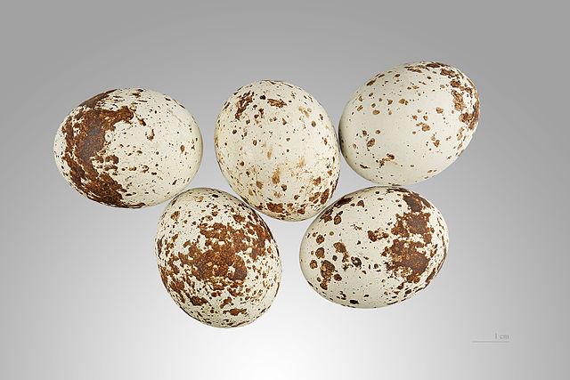 Spurvehøgens æg er også eftertragtet blandt æggerøverne. Foto: Didier Descouens CC BY-SA 3.0 Wikimedia