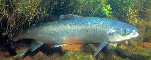 Bestanden af laks i Storåen er femdoblet på blot fem år. Foto: U.S. Fish & Wildlive, Wikimedia