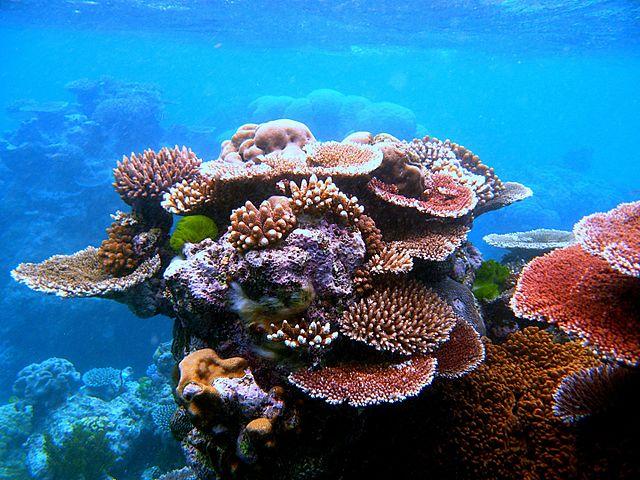 Det er farvestrålende koralrev som dette nær Cairns som nu er ved at være fortid mange steder på Great Barrier Reef. Foto: Toby Hudson CC BY-SA 3.0, Wikimedia