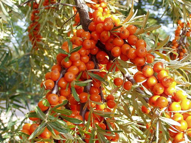 Havtornebusk med modne bær. Foto: Wikimedia