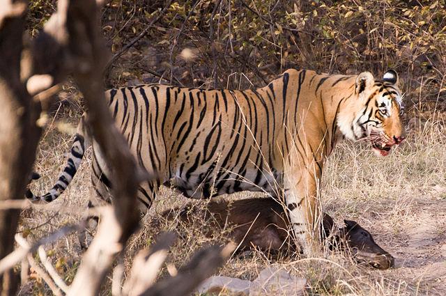 Tiger med dræbt antilope. Foto: Rhaessner CC BY-SA 3.0 Wikimedia