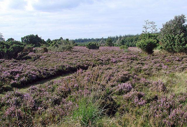 Den jyske hede og lyngen er mange steder hårdt trængt af skovtræer og græsarter. Foto: Nico CC BY 3,0, Wikimedia