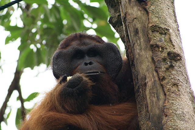 En orangutang han fra Borneo fra før skovbrandene hærgede. Foto: Eleifert CC BY-SA 3.0 Wikimedia