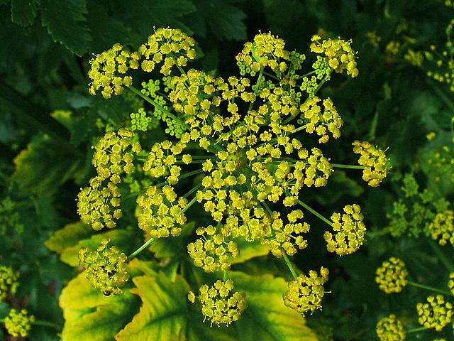 Blomsterstand af pastinak er også giftig. Foto: H. Zell CC BY-SA 3,0, Wikimedia