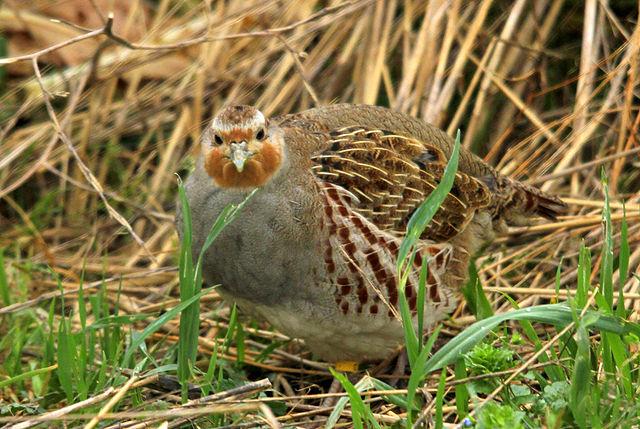Det er blandt andet agerhøns som kan få glæde af de nye regler. Foto: David Galavan CC BY 2.0, Wikimedia