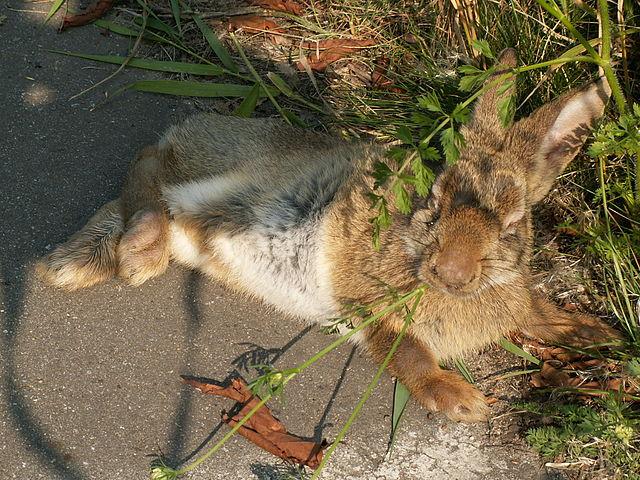 En kanin ramt af kaninpesten myxomatose som rammer øjnene. Foto: Piet Spaans CC BY-SA 2,5, Wikimedia