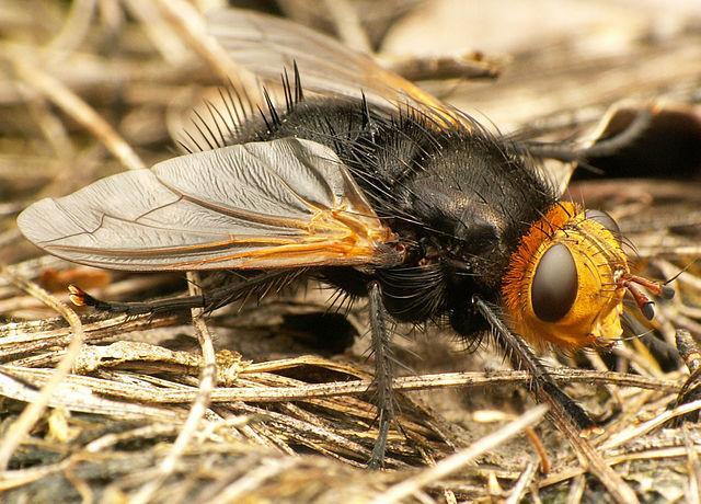 Kæmpefluen harald med sin sorte behårede krop og gule hoved. Foto: Piet Spaans CC BY-SA 3,0, Wikimedia