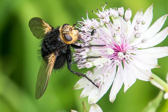 Kæmpefluen harald findes i det meste af Vesteuropa hvor den som voksen lever af pollen og nektar. Foto: Corsairoz CC BY-SA 4,0, Wikimedia