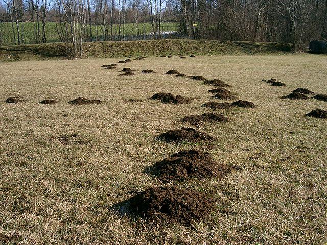 Det er muldvarpeskud som disse, der har fået Haderslev kommune til at indføre dusørordningen. Foto: PRA CC BY 2.5, Wikimedia
