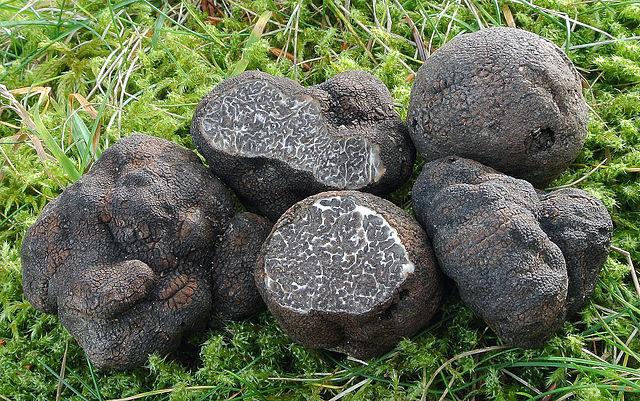 Den sjældne trøffelsort Tuper macrosporum. Foto: Nicolò Oppicelli CC BY-SA 3.0 Wikimedia