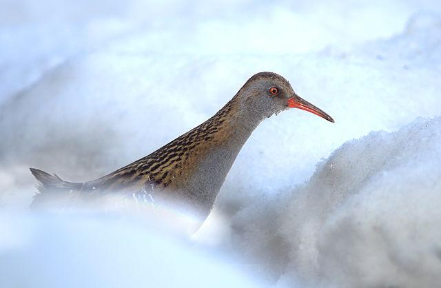 De fleste vandrikse trækker sydpå om vinteren men et mindre antal overvintre herhjemme. Foto: Ryzhkov Sergey CC SA-BY 4,0