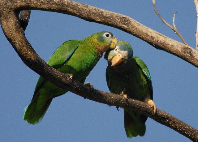 Jamaica-amazone papegøjen som disse to, var en af de truede arter som danskeren handlede med. Foto: Wayne Sutherland CC BY-SA 2.0