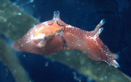 Søhare. Foto: H. Wägele m.fl. CC BY 2.0, Wikimedia