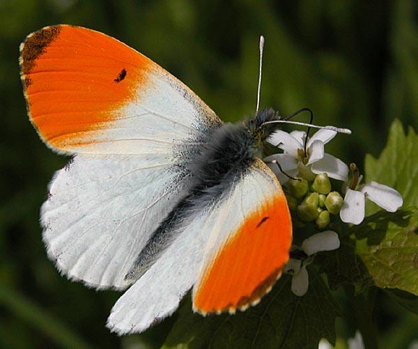 Aurora han med de karakteristiske orange vingespidser. Foto: Michael H. Lemmer CC BY-SA 2.5, Wikimedia