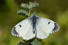Aurora hun. Foto: Gilles San Martin CC BY-SA 2.0, Wikimedia