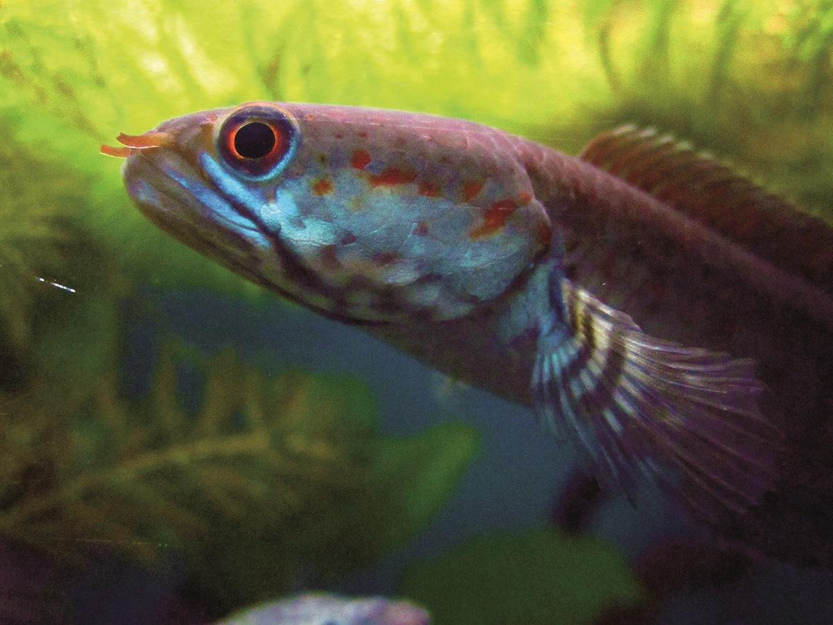 Den nylige fundne Blå dværgslangehovedfisk (Channa andrao). En af de mange endemiske arter i regionen. Foto: WWF, Henning Strack Hansen
