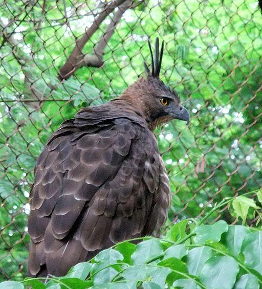 Indonesiens nationalfugl i en zoologisk have. Fuglen er truet på grund af ulovlig handel. Foto: Elang, CC SA 3.0, Wikimedia