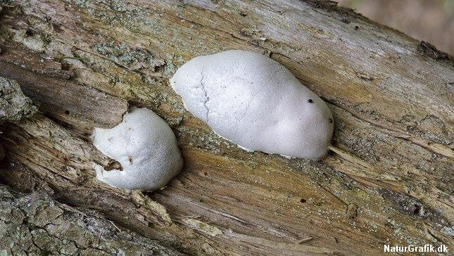 Skinnende støvpude i den klassiske form, der har har navngivet svampedyret.