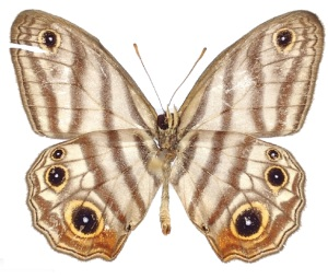 Den nye sommerfugleart Euptychia attenboroughi.