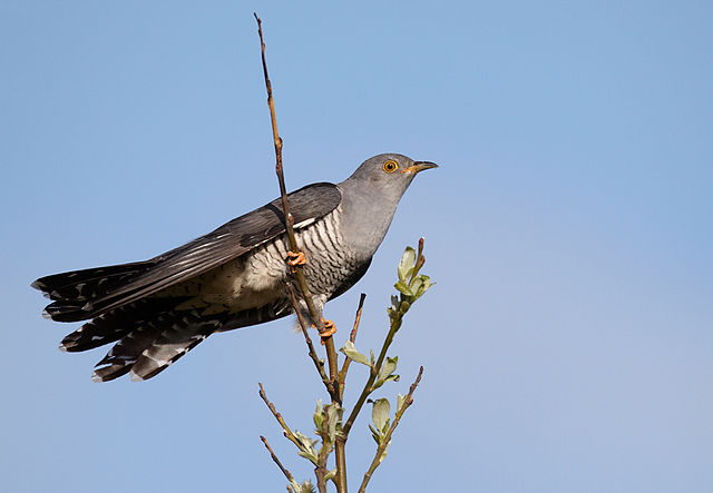 Gøg, foto: Vogelartinfo, GFDL 1.2, Wikimedia
