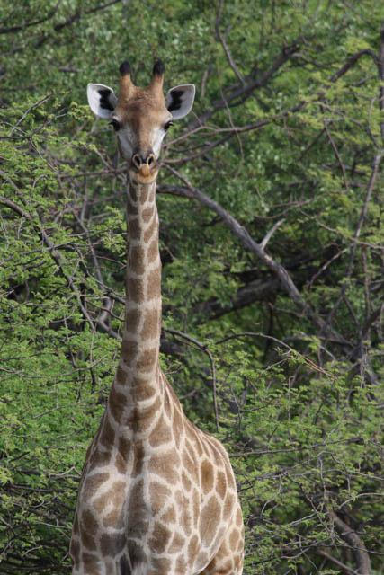 Giraffen er verdens højeste landlevende dyr. Foto: Niels Lisborg, NaturGrafik