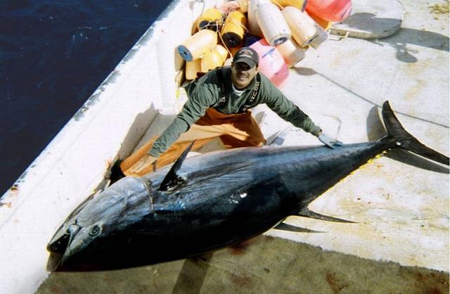 Det er et eksemplar som denne blåfinnet tunfisk, der er blevet solgt i Japan. Foto: FishWatch, Wikimedia