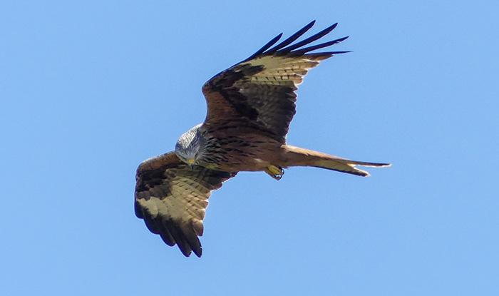 danmarks hurtigste fugl der ikke kan lette fra jorden