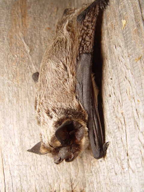Skimmelflagermusen er en af de arter hvor det er muligt at høre sangflugtens tikkende lyde om efteråret og frem til juletid. Foto: Mnolf CC BY-SA 3,0, wikimedia